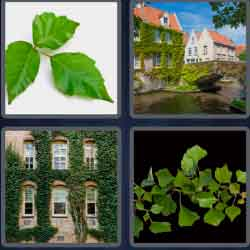 4-pics-1-word-3-letters-ivy