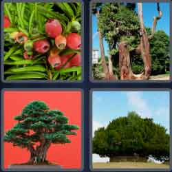 4-pics-1-word-3-letters-yew