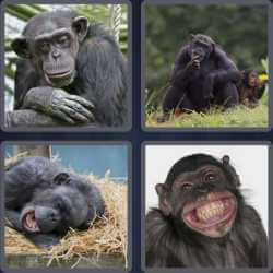 4-pics-1-word-5-letters-chimp