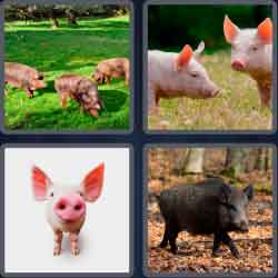 4-pics-1-word-5-letters-swine
