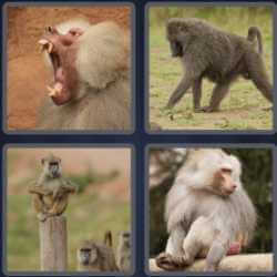 4-pics-1-word-6-letters-baboon