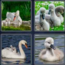 4-pics-1-word-6-letters-cygnet