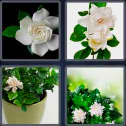 4 pics 1 word 8 letters gardenia