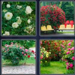 4 pics 1 word 8 letters rosebush